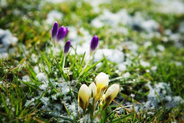 crocuses spring