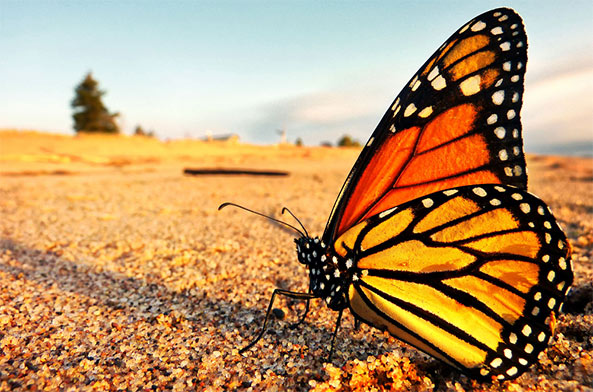 monarch butterfly population plunges