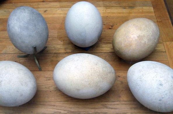 elephant bird eggs