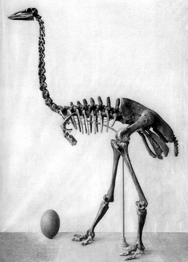 elephant bird skeleten