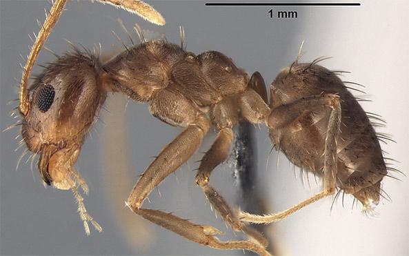 crazy ants invade southeast u.s.
