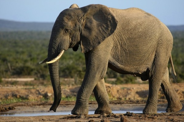 An elephant saved its own life by trampling a poacher who attempted to shoot it.