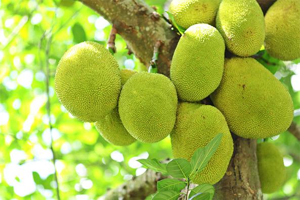 vegans love jackfruit