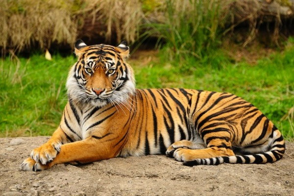 A wild Bengal tiger spent a month living in an Indian zoo before leaving of its own accord.