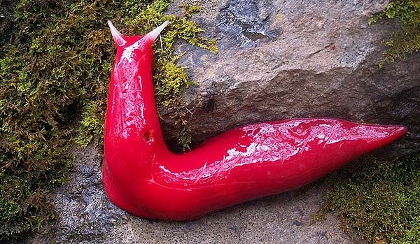 Giant pink slugs, which are rare to a park in Australia, have finally been officially named and documented.