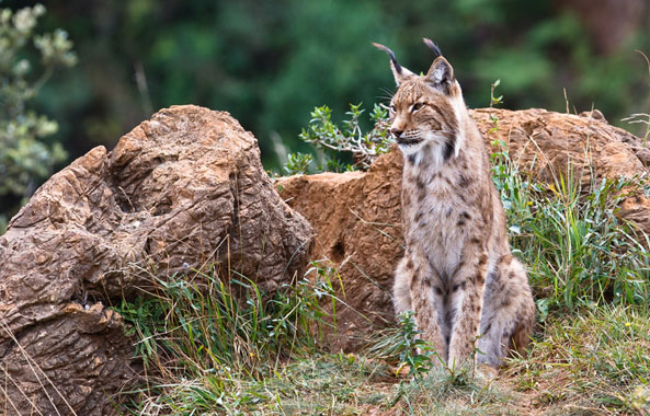 Researchers say the rare Iberian Lynx will be extinct in 50 years due to climate change