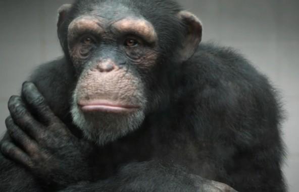 PETA-CGI-Ape-592x381