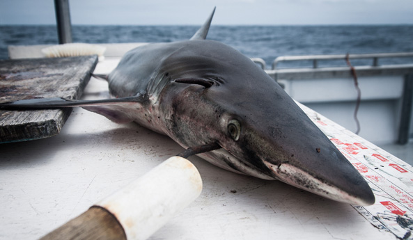 Governor Andrew Cuomo Ends Shark Fin Trade in New York