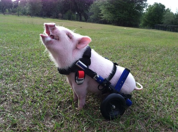 A veterinarian saved the piglet's life by fitting him with a special wheelchair.