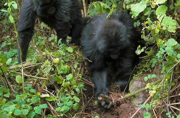 gorillas dismantle traps