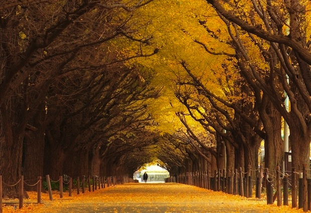 This magnificent tree tunnel in Tokyo is located in the outer garden of Meiji Shrine.