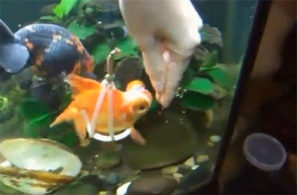 A caring human created a floating harness for this goldfish, so that she can swim properly.