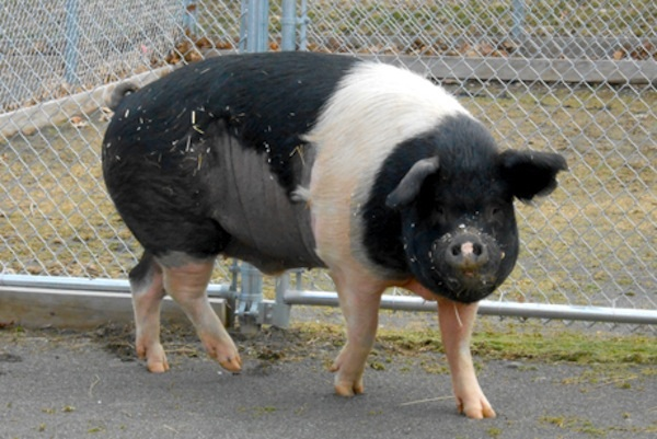 Rescued pig Nemo's historic and successful cancer treatment
