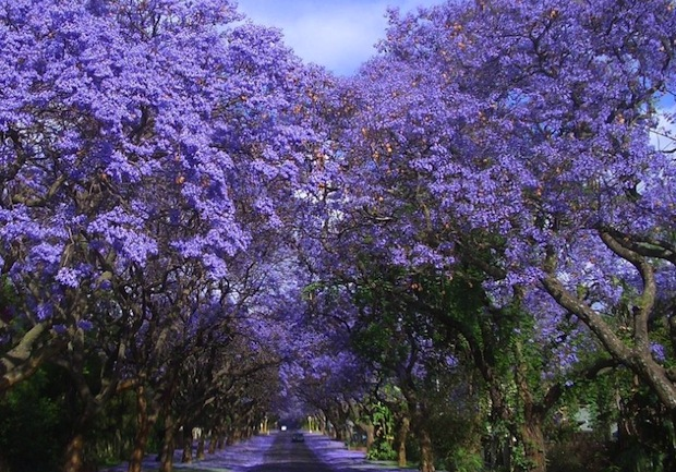 More than 70,000 Jacaranda trees add color to Pretoria, South Africa.