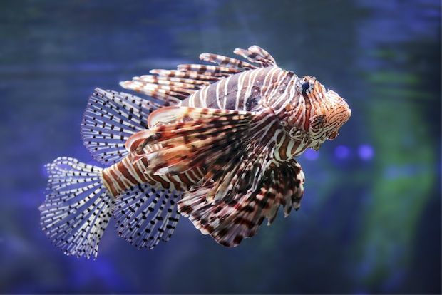 Predatory lionfish have invaded the deep Atlantic, where they now threaten native fish populations.