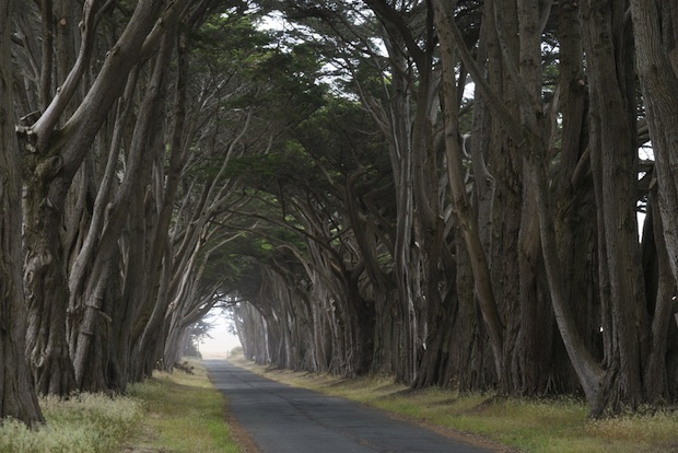 The tree tunnel at the Point Reyes National Seashore is composed of Monterey Cypress trees.