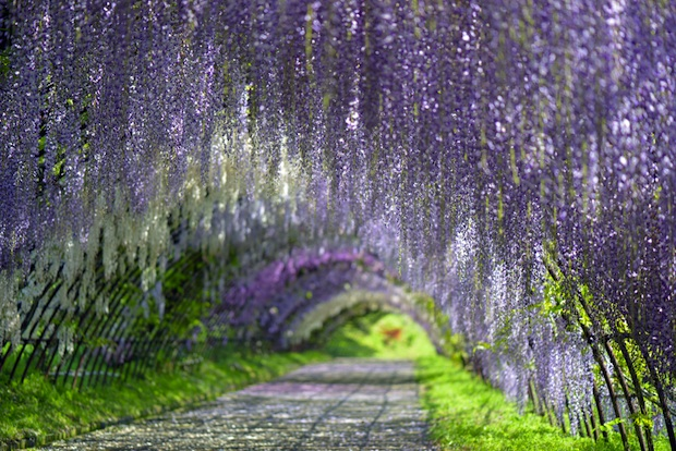 Several types of wisteria, in various colors, bloom in the tunnel in the Ashikaga Flower Park.