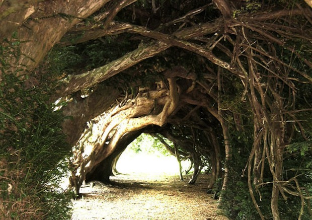 The yew tree tunnel at Aberglasney House in Wales was probably planted in the eighteenth century.