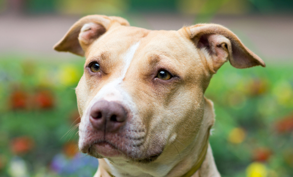 President Obama ends laws that discriminate against pit bulls