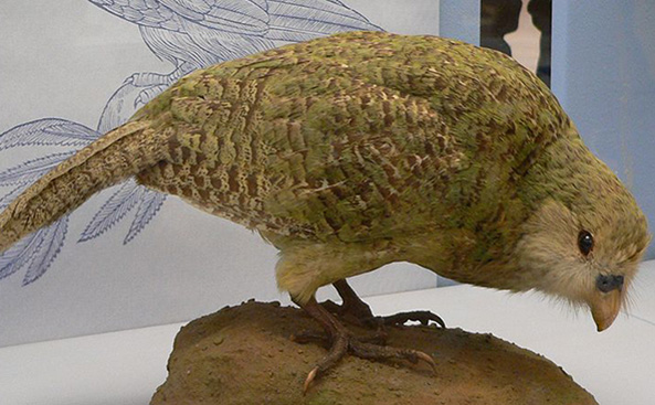 Endangered Kakapo Bird Named One of World's Ugliest Animals