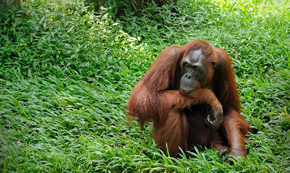 Study Finds Orangutans Can Plan and Communicate Future Travel a Day in Advance
