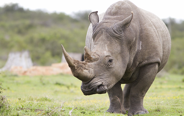 White Rhinos Named Endangered Species to Curb Poaching of All Rhinos