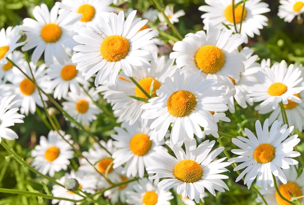 Chamomile is a common folk remedy for sleeplessness and anxiety.
