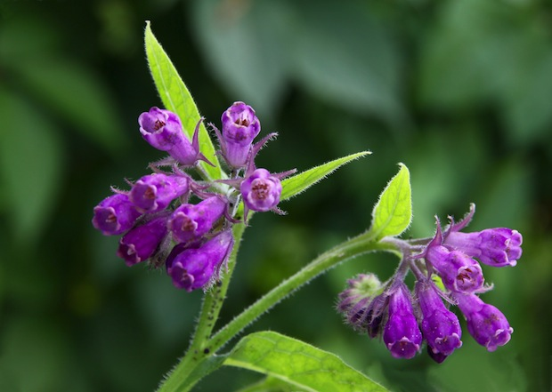 Comfrey can be used externally to treat bruises, acne and varicose veins.