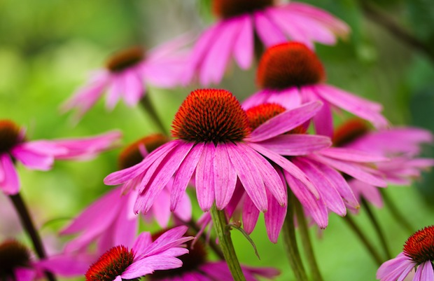 Echinacea is sometimes used to fight the common cold.