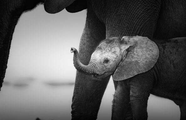 elephantcry
