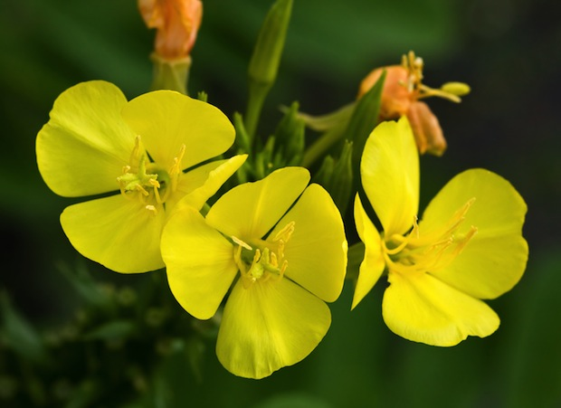Evening primrose has been used to treat everything from digestive trouble to multiple sclerosis to rheumatoid arthritis.