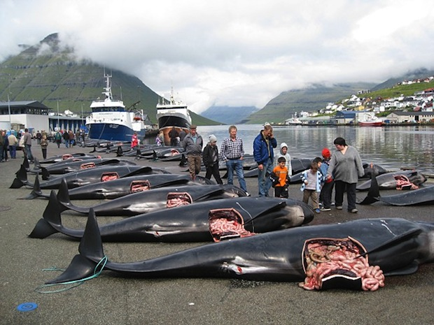 Sea Shepherd launches Grind Stop 2014 campaign as Faroe Islands hunts continue