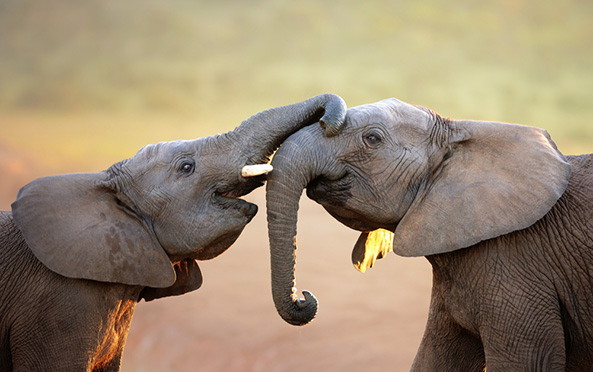 Study finds that elephants automatically understand pointing and use the gesture to find food