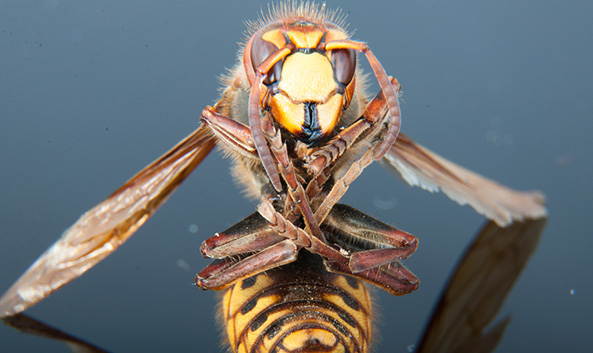 Climate Change Causes Deadly Giant Hornet Population to Boom