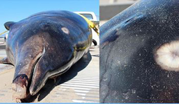 Rare Saber-Toothed Whale Found Stranded on Venice Beach