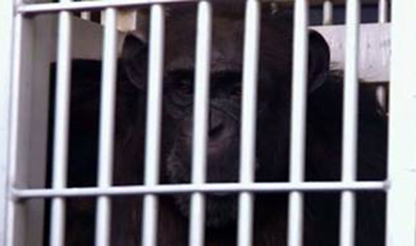 Terry the chimpanzee is rescued after 18 years at roadside zoo