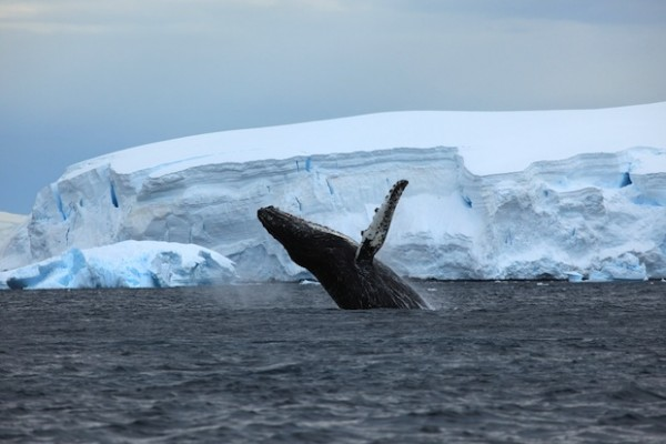 '60 Minutes' spotlights humpback whale conservation and Sea Shepherd, interviews Captain Paul Watson