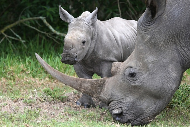 Kenya microchipping rhinos to fight poaching
