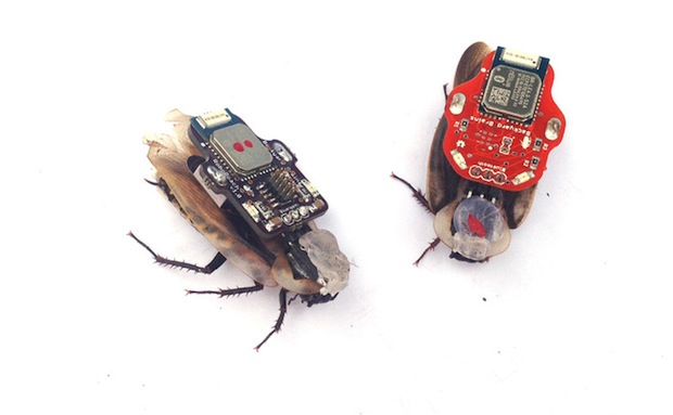 Live cockroaches to be surgically turned into controllable 'robots'