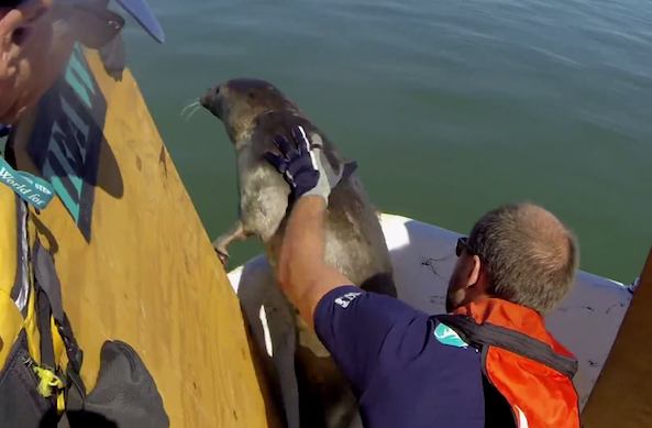seal rescued from fishing line