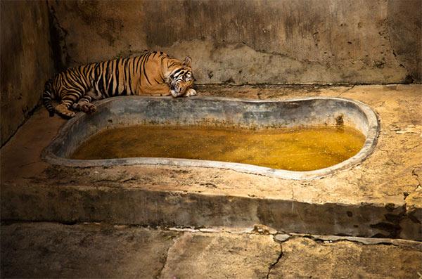 tiger-sad