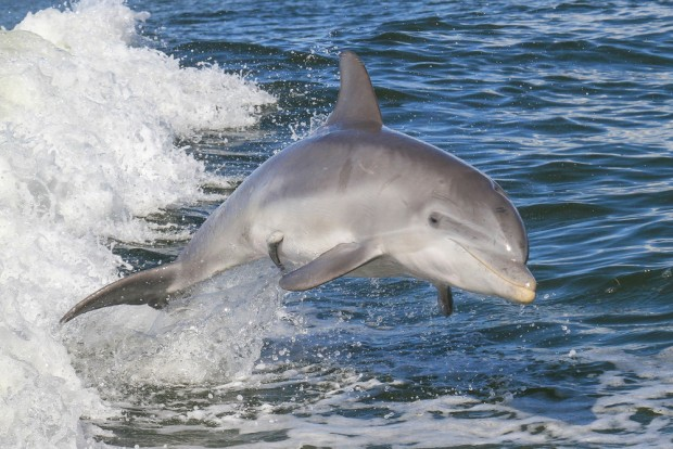 Dolphin virus spreads to Florida, now infecting whales