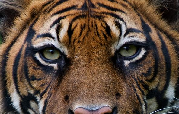 tiger dicaprio