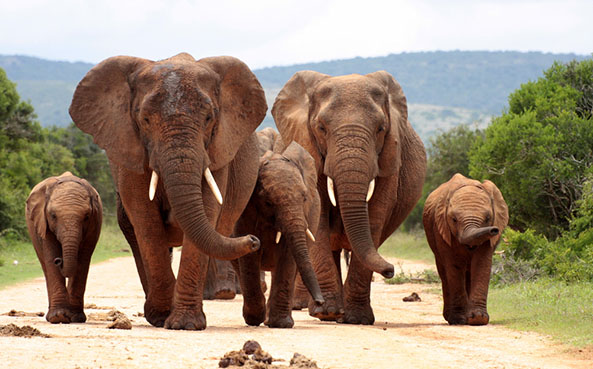 U.S. President Obama and President Xi Jinping of China announced today they are working together to end the global trade of ivory.