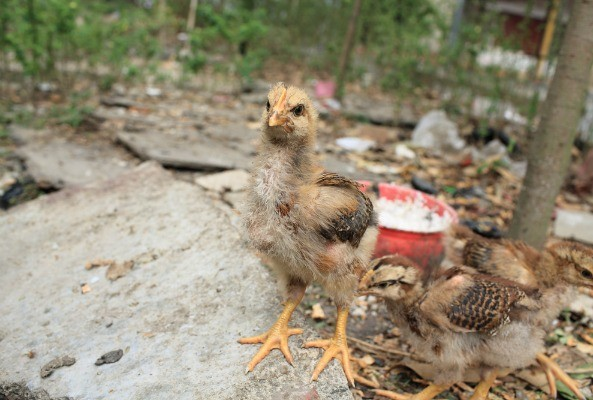 Live hens killed in China after testing positive for bird flu virus H7N9