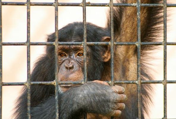 Merck & Co. to stop testing on chimpanzees