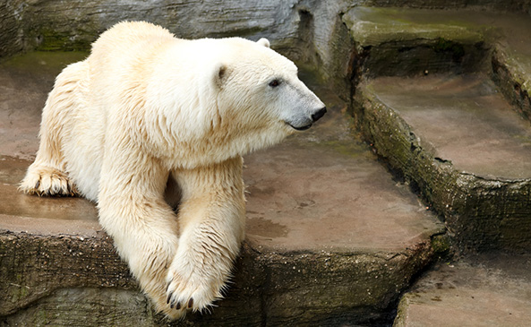 Anton the polar bear dies after eating a purse and coat that were dropped into his exhibit