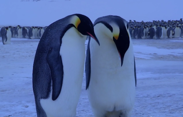 grieving penguins
