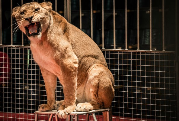 As of last week, wild animals, including lions, bears, and elephants, are banned from performing in circuses in The Netherlands.