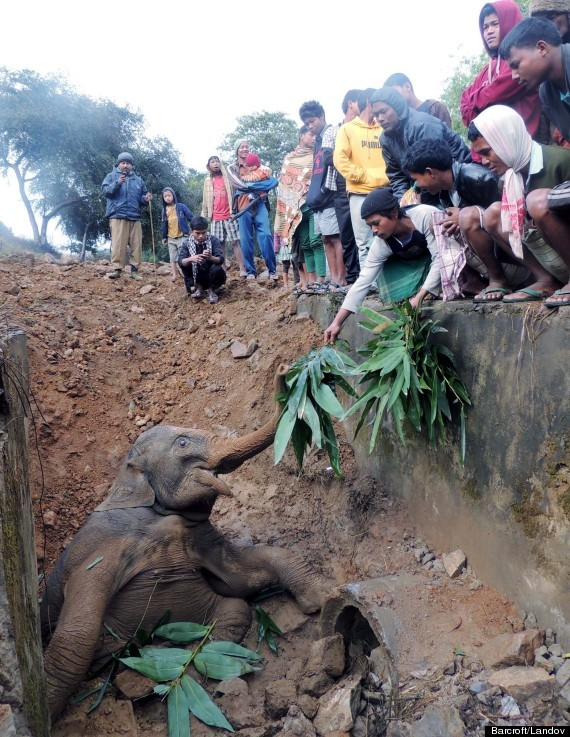 baby elephant in ditch